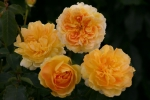 Rose: Molineux Foto Rosen-Direct.de
