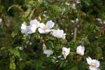 Rosa omeiensis pteracanta Foto Rosen-direct