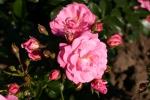 Rose Palmengarten Frankfurt Foto Rosendirect