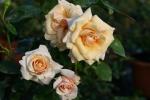 Rose: Paul Ricard Foto Rosen-Direct.de