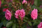 Rose: Pink Grootendorst Foto Rosen-Direct.de