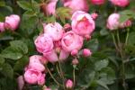 Rose: Raubritter Foto Rosen-Direct.de