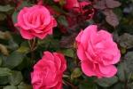 Rose: Romanze Foto Rosen-Direct.de