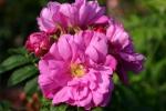 Rose: Baums Rokoko Foto Rosen-Direct.de