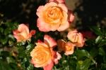 Rose: Samaritan Foto Rosen-Direct.de