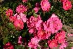 Rose: Sommerabend
