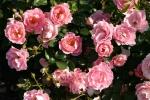Rose: Sommerwind Foto Rosen-Direct.de