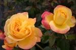 Rose: Speelwark Foto Rosen-Direct.de