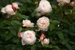 Rose: St. Cecilia Foto Rosen-Direct.de
