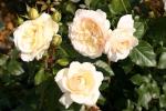 Rose: Tchaikovski Foto Rosen-Direct.de