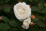 Rose: Winchester Cathedral Foto Rosen-Direct.de