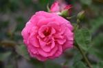 Rose: Zéphirine Drouhin Foto Rosen-Direct.de