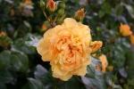 Rose: Bernsteinrose Foto Rosen-Direct.de