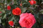 Rose Salita Foto Rosen-direct