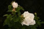 Rose: Frau Karl Druschki Foto Rosen-Direct.de