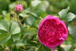 Rose Charles de Mills Foto Rosen-direct