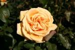 Rose Valencia 89 - Foto Rosendirect