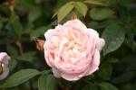 Rose: Colette Foto Rosen-Direct.de