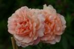 Rose: Francis Blaise Foto Rosen-Direct.de