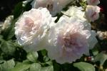 Rose: Martine Guillot Foto Rosen-Direct.de