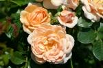 Rose: Elizabeth Stuart Foto Rosen-Direct.de