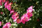 Rose American Pillar Foto rosen-direct