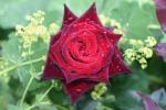 Rose Black Baccara Foto Rosen-direct