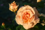 Rose Indian Summer  Foto Rosen-direct