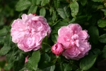 Rose Jacques Cartier Foto rosen-diect