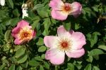 Rose Frühlingsmorgen Foto rosen-direct