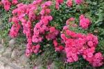 Rose Heidetraum hier bestellbar Foto Rosen-direct