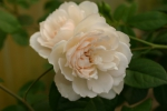 Rose The Generous Gardener Foto Rosendirect