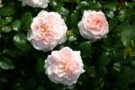 Rose Miss Alice Foto rosen-direct