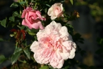 Rose: Francois Juranville Foto Rosen-Direct.de