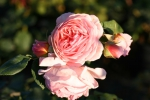 Rose William Morris  Foto Rosen-direct