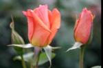 Rose Beaute Foto rosen-direct
