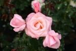 Rose High Hopes Foto Rosen-direct