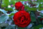 Royal Show Rose Foto Rosen-direct