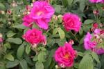 Rose Gallica officinalis Foto Rosen-Direct.de