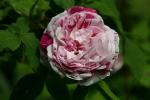 Rose Honorine de Brabant  Foto rosen-direct