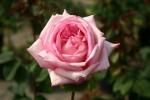 Rose Claudia Koopmann Foto rosen-direct
