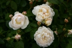 Rose: Glamis Castle Foto Rosen-Direct