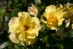 Rose: Golden Showers Foto Rosen-Direct