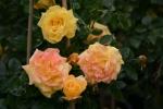 Rose: Goldfassade Foto Rosen-Direct.de