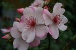 Rose Sweet Pretty Foto rosen-direct