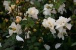 Rose: Heidesommer Foto Rosen-Direct.de