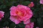 Rose Pink Paradise Foto Rosen-direct