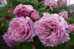 Rose Bienvenue (Delbard) Foto rosen-direct