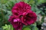 Rose Rotes Phänomen Foto rosen-direct
