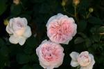 Rose: Home & Garden Foto Rosen-Direct.de